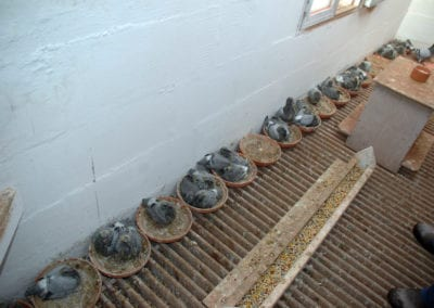 breeding loft 1